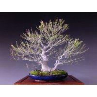 Japanese Maple (Acer palmatum) / Akane Momiji