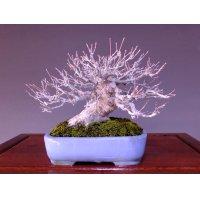 Japanese Maple (Acer palmatum) / Yama Momiji