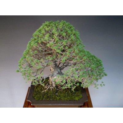 Photo5: Pinus pentaphylla, zuisho