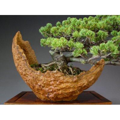 Photo3: Pinus pentaphylla