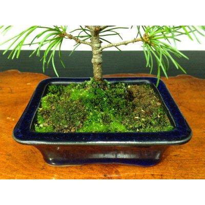 Photo4: Five Needle Pine (Pinus parviflora) / Goyo Matsu