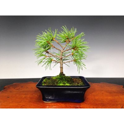 Photo1: Five Needle Pine (Pinus parviflora) / Goyo Matsu