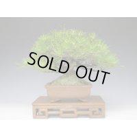 Black Pine (Pinus thunbergii) / Kuro Matsu