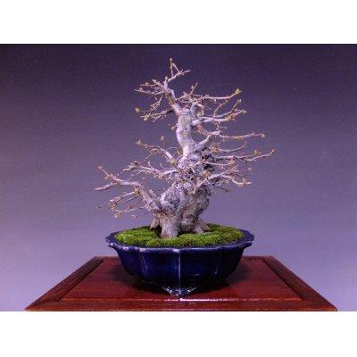Photo2: Chinese Quince (Chaenomeles sinensis) / Karin