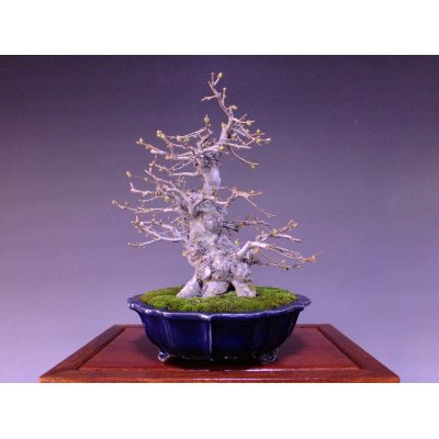 Photo1: Chinese Quince (Chaenomeles sinensis) / Karin