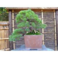 Five Needle Pine (Pinus parviflora) / Goyo Matsu