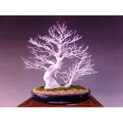 Photo1: Japanese Maple (Acer palmatum) / Yama Momiji