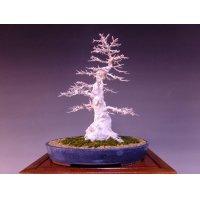 Maple (Acer buergerianum) / Kaede