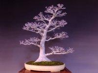 Japanese Maple (Acer palmatum) / Shishigashira Momiji