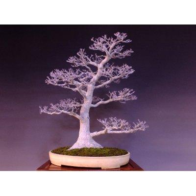 Photo1: Japanese Maple (Acer palmatum) / Shishigashira Momiji