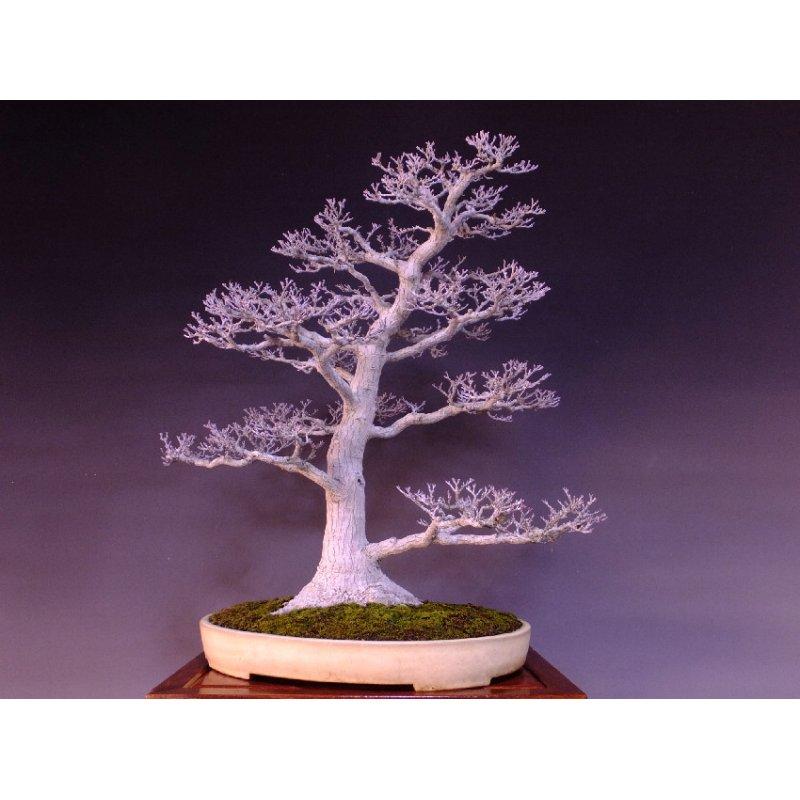 Bonsaijapanese Maple Acer Palmatum Shishigashira Momiji Online