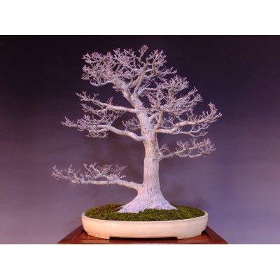 Photo2: Japanese Maple (Acer palmatum) / Shishigashira Momiji
