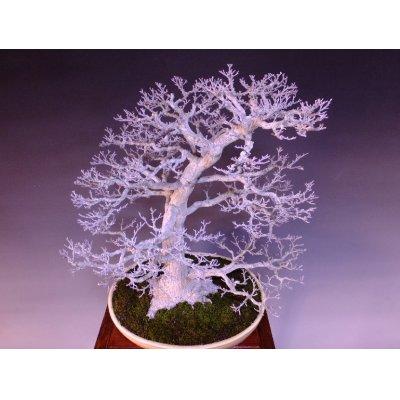 Photo5: Japanese Maple (Acer palmatum) / Shishigashira Momiji