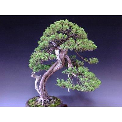 Photo5: Juniper (Juniperus chinensis var. sargentii) / Shimpaku