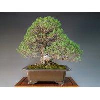 Pinus pentaphylla, zuisho