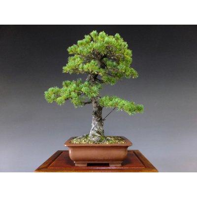 Photo1: Pinus pentaphylla