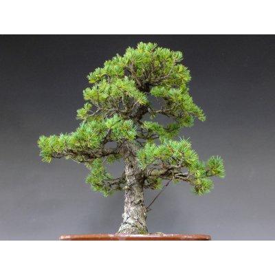 Photo4: Pinus pentaphylla