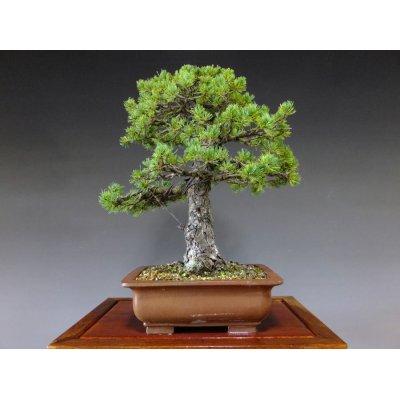 Photo2: Pinus pentaphylla