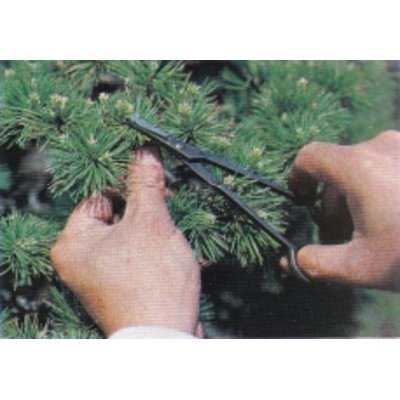 Photo2: Bud trimming shears for Pines and Junipers (MASAKUNI)