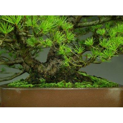 Photo3: Five Needle Pine (Pinus parviflora) / Goyo Matsu