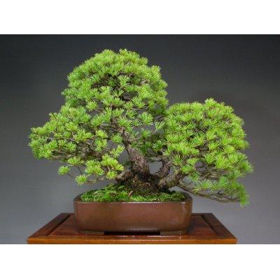 Photo2: Five Needle Pine (Pinus parviflora) / Goyo Matsu