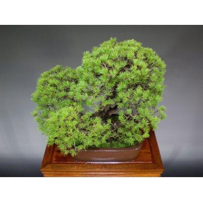 Photo5: Five Needle Pine (Pinus parviflora) / Goyo Matsu