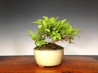 Border Privet (Ligustrum obtusifolium) / Ibota