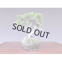 Juniper (Juniperus chinensis var. sargentii) / Shimpaku