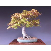Japanese Maple (Acer palmatum) / Katsura Momiji