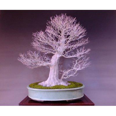 Photo2: Japanese Maple (Acer palmatum) / Yama Momiji