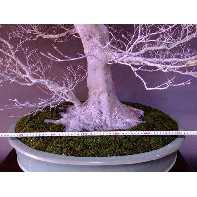 Photo3: Japanese Maple (Acer palmatum) / Yama Momiji
