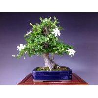 Cape Jasmine / Common Gardenia (Gardenia jasminoide) / Kuchinashi