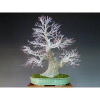Japanese Maple (Acer palmatum) / Arakawa Momiji