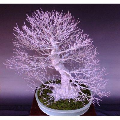 Photo5: Japanese Maple (Acer palmatum) / Yama Momiji