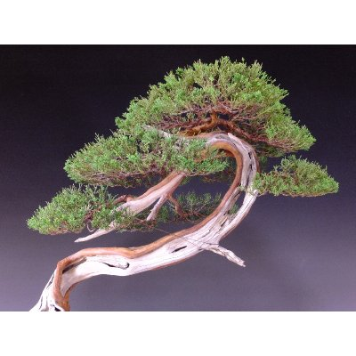 Photo4: Juniper (Juniperus chinensis var. sargentii) / Shimpaku