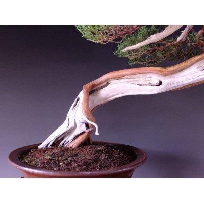 Photo3: Juniper (Juniperus chinensis var. sargentii) / Shimpaku