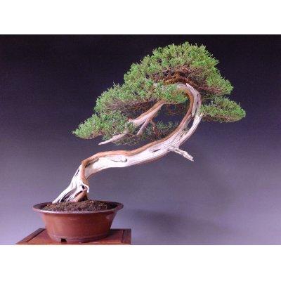 Photo1: Juniper (Juniperus chinensis var. sargentii) / Shimpaku