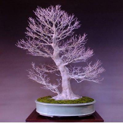 Photo1: Japanese Maple (Acer palmatum) / Yama Momiji