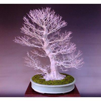 Photo4: Japanese Maple (Acer palmatum) / Yama Momiji