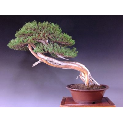 Photo2: Juniper (Juniperus chinensis var. sargentii) / Shimpaku