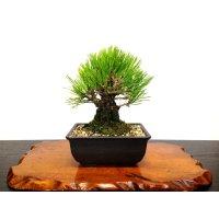 """Pinus thunbergii """"Nisikimatsu"""" (Japanese Black Pine) / Nishikimatsu (Kuromatsu) / Small size Bonsai"""