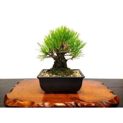 """Photo1: Pinus thunbergii """"Nisikimatsu"""" (Japanese Black Pine) / Nishikimatsu (Kuromatsu) / Small size Bonsai"""