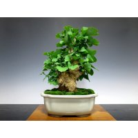 Ginkgo biloba (Maidenhair tree) / Icho / Middle size Bonsai