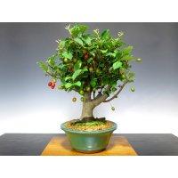 Elaeagnus pungens (Thorny olive) / Gumi / Middle size Bonsai