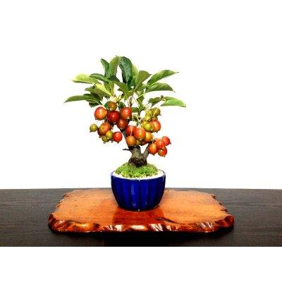 Photo2: Malus cerasifera / Hime Ringo / Ornamental Apple / Small size Bonsai