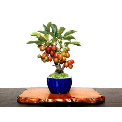 Photo1: Malus cerasifera / Hime Ringo / Ornamental Apple / Small size Bonsai
