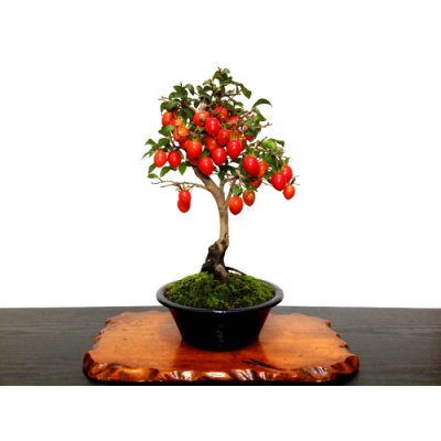 "Photo1: Diospyros rhombifolia ""Benihikari"" (Ornamental Persimmons) / Middle size Bonsai"