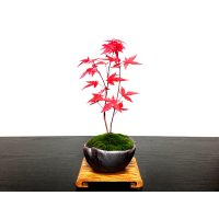 Acer palmatum (Japanese Maple) / Deshojo Momiji / Small size Bonsai