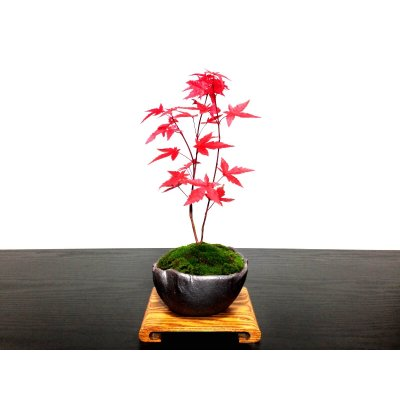 Photo1: Acer palmatum (Japanese Maple) / Deshojo Momiji / Small size Bonsai