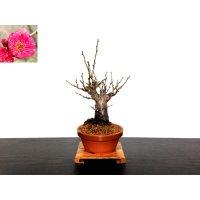 "Prunus mume (Japanese Flowering Apricot) / Ume ""Kagoshima Kobai"" / Middle size Bonsai"